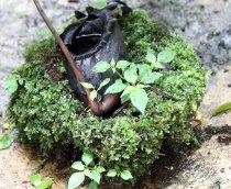 Pitcher Flower, Borneo