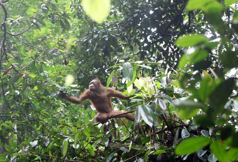 Juvenile Orangutan