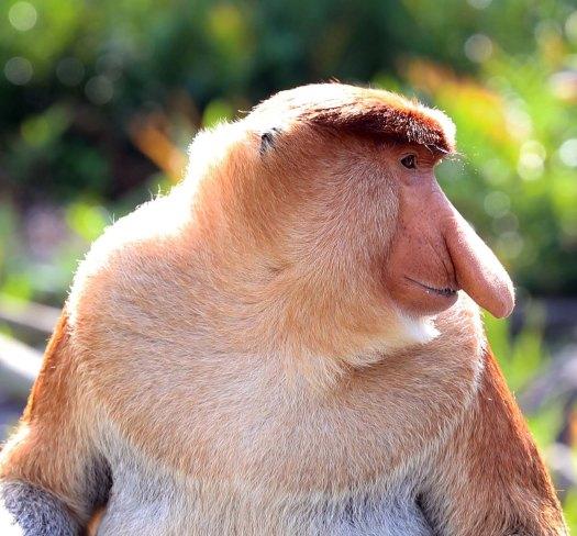 Adult male Proboscis