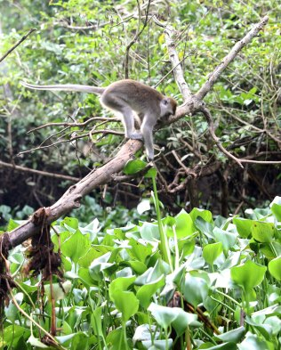 Macaque getting dinner (scene 3)