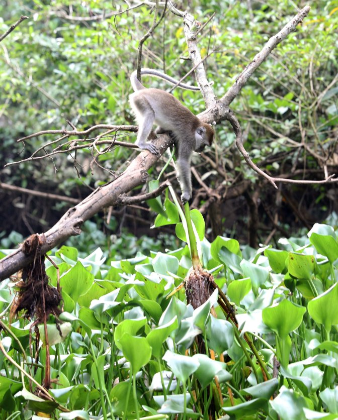 Macaque getting dinner (scene 4)