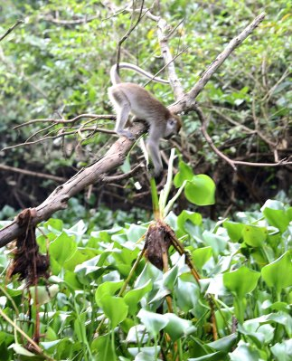 Macaque getting dinner (scene 5)