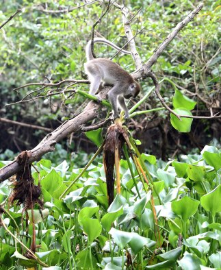 Macaque getting dinner (scene 6)