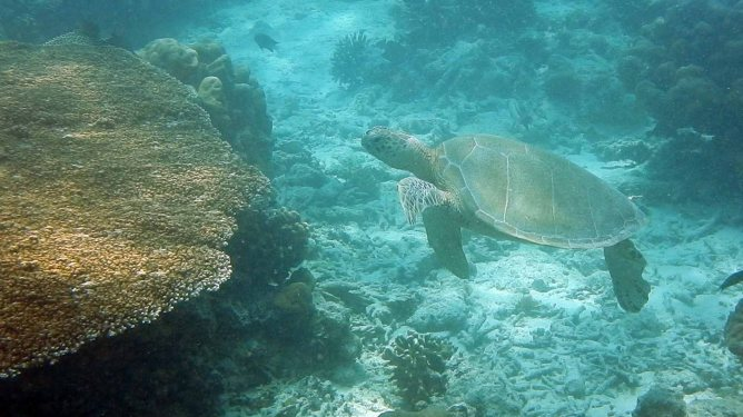 Sea Turtle, SIpadan