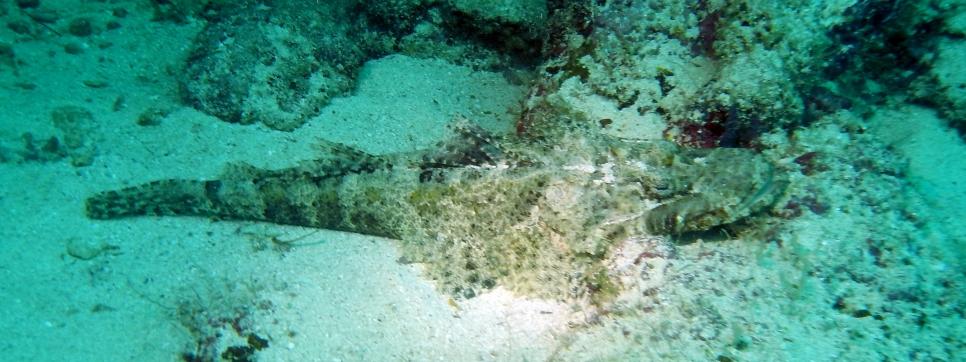 Crocodile fish, Sipadan