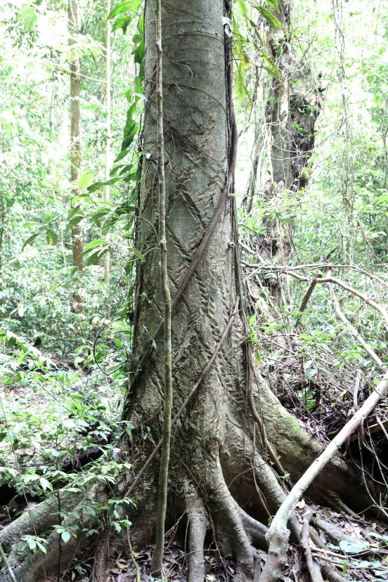 Moraceae Tree, Latex is used for Borneo Blowpipe poison