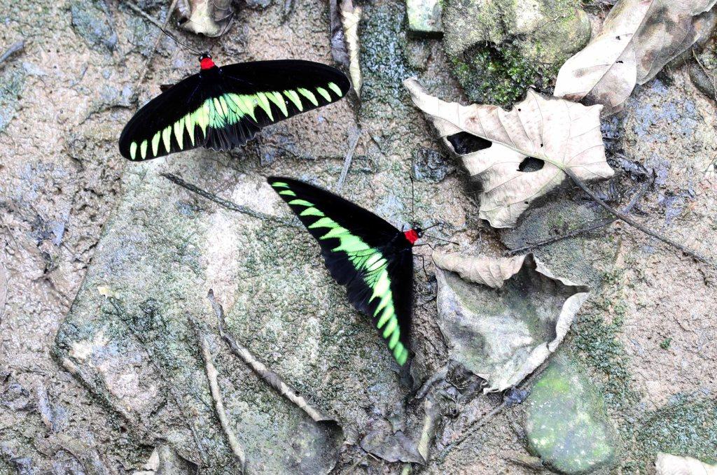 Rajah Brooke's Birdwing Butterfly
