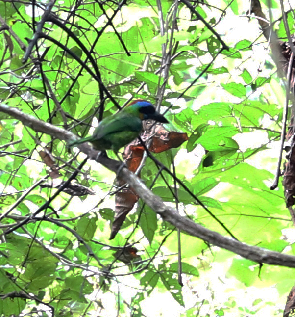 Woodpecker, Gunung Gading National Park