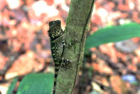 Borneo Crested Lizard, Gunung Gading National Park