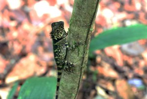 Borneo Crested Lizard, Gunung Gading National Park