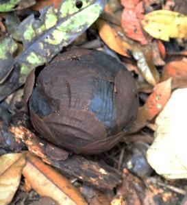 7 - 9 month old Rafflesia bud, Gunung Gading National Park