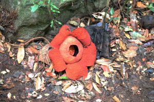 Rafflesia Flower (Corpse Flower), Gunung Gading National Park