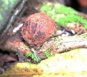 Few months old Rafflesia Bud, Gunung Gading National Park
