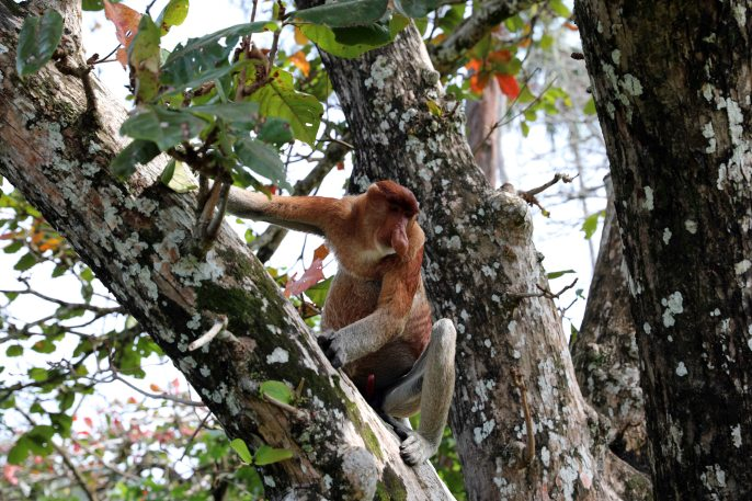 Proboscis Monkey, Baku National Park