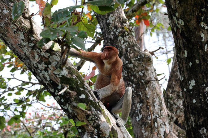 Proboscis Monkey, Bako National Park