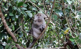 Long-Tailed Macaque Monkey, Bako National Park