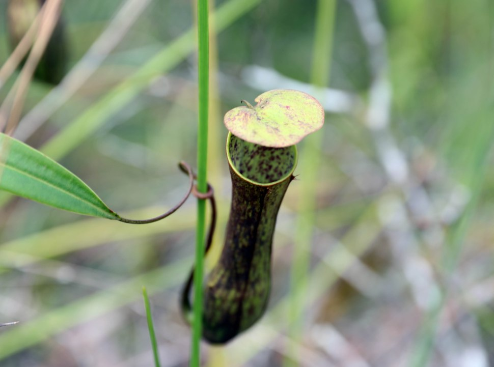Pitcher Plant (Monkey Cup), Baku National Park