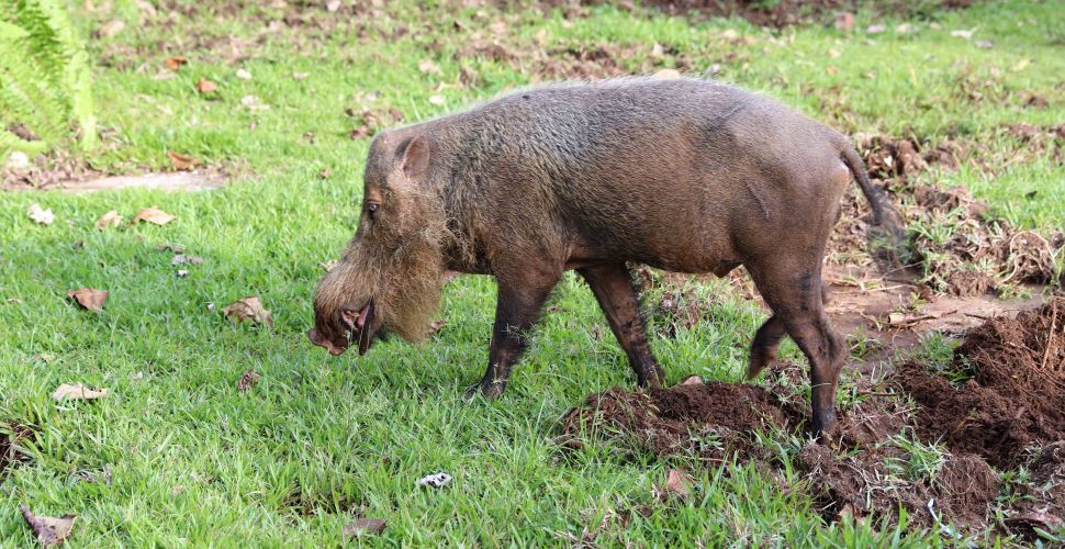 Wild Bearded Pig, Bako National Park
