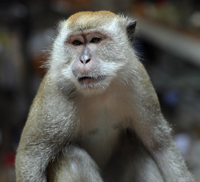Macaque in Temple Cave, Kuala Lumpur