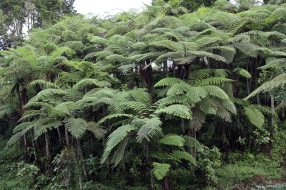 Ferns on hiking trail, Cameron Highlands