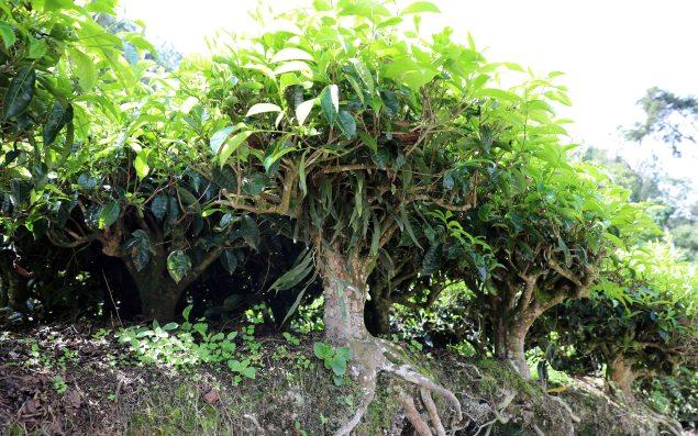 Mature Tea Tree