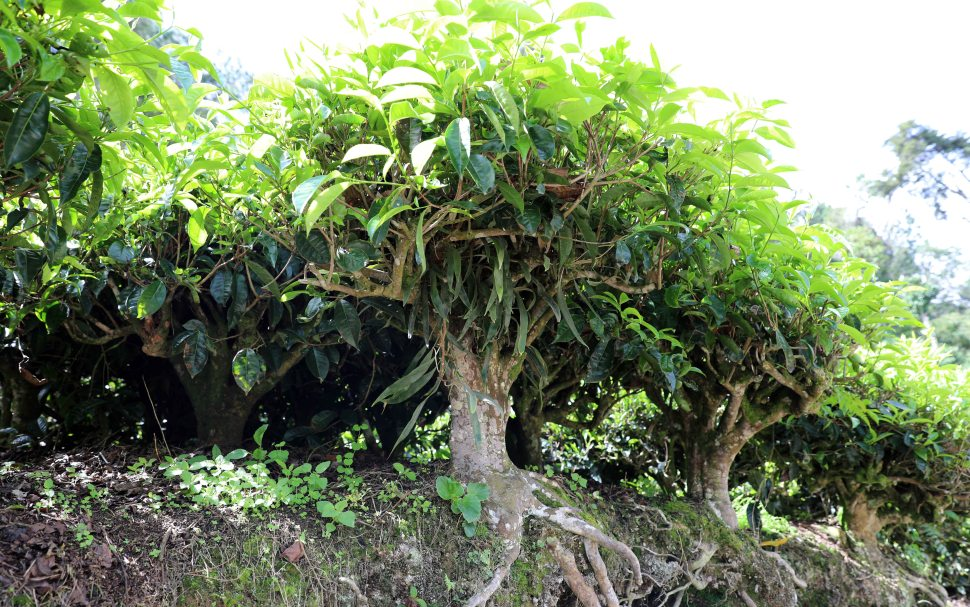 Mature Tea Tree