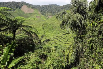 Cameron Valley Tea Plantation