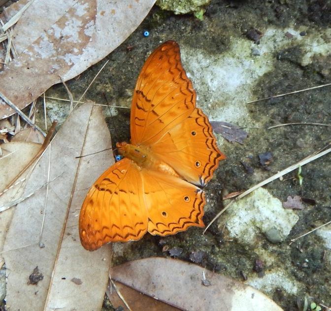 Butterfly, Gunung Mulu National Park