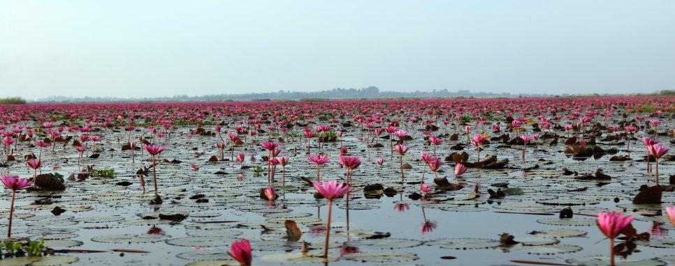 Red Lotus Sea
