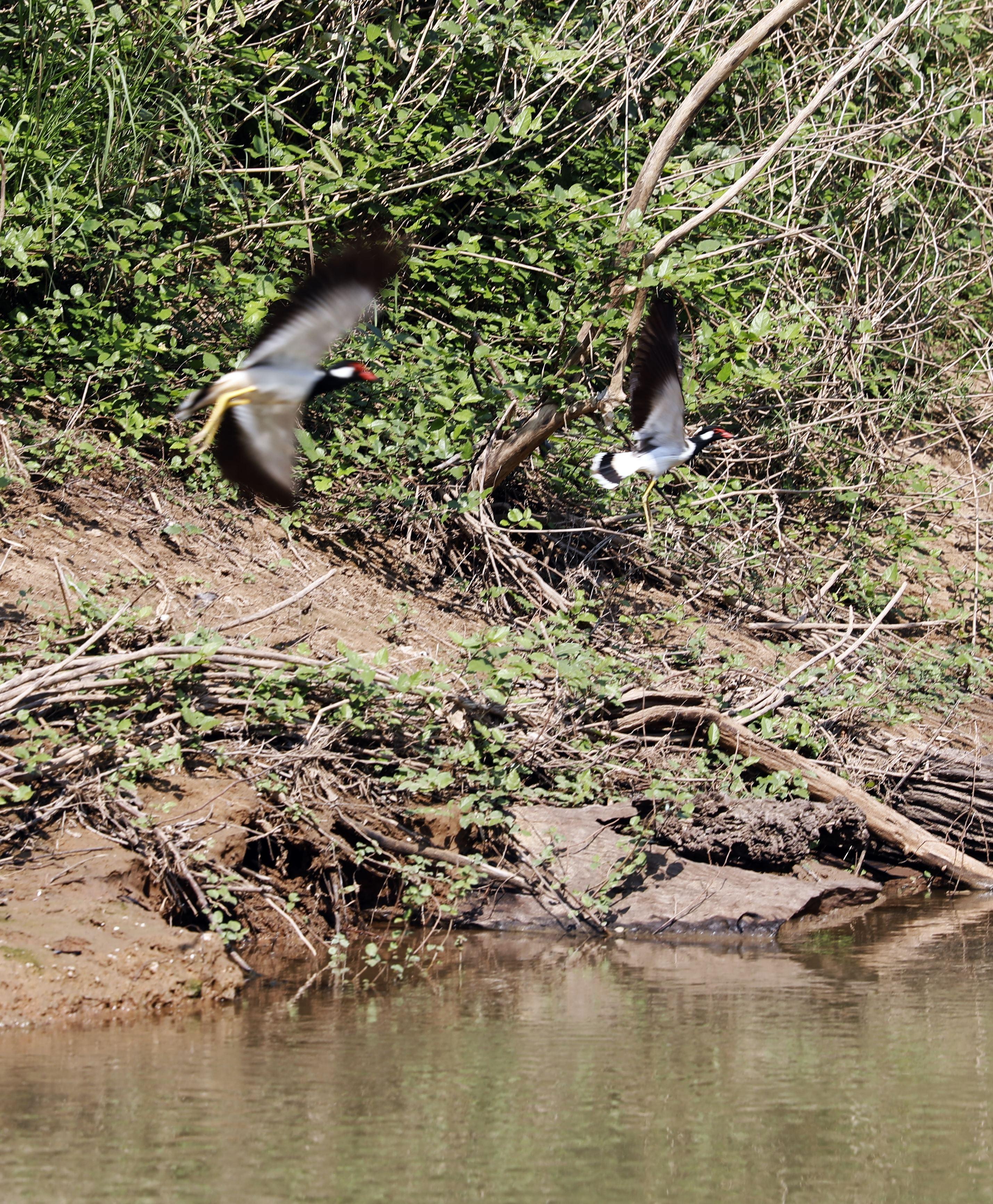 Birds on the Pasak River