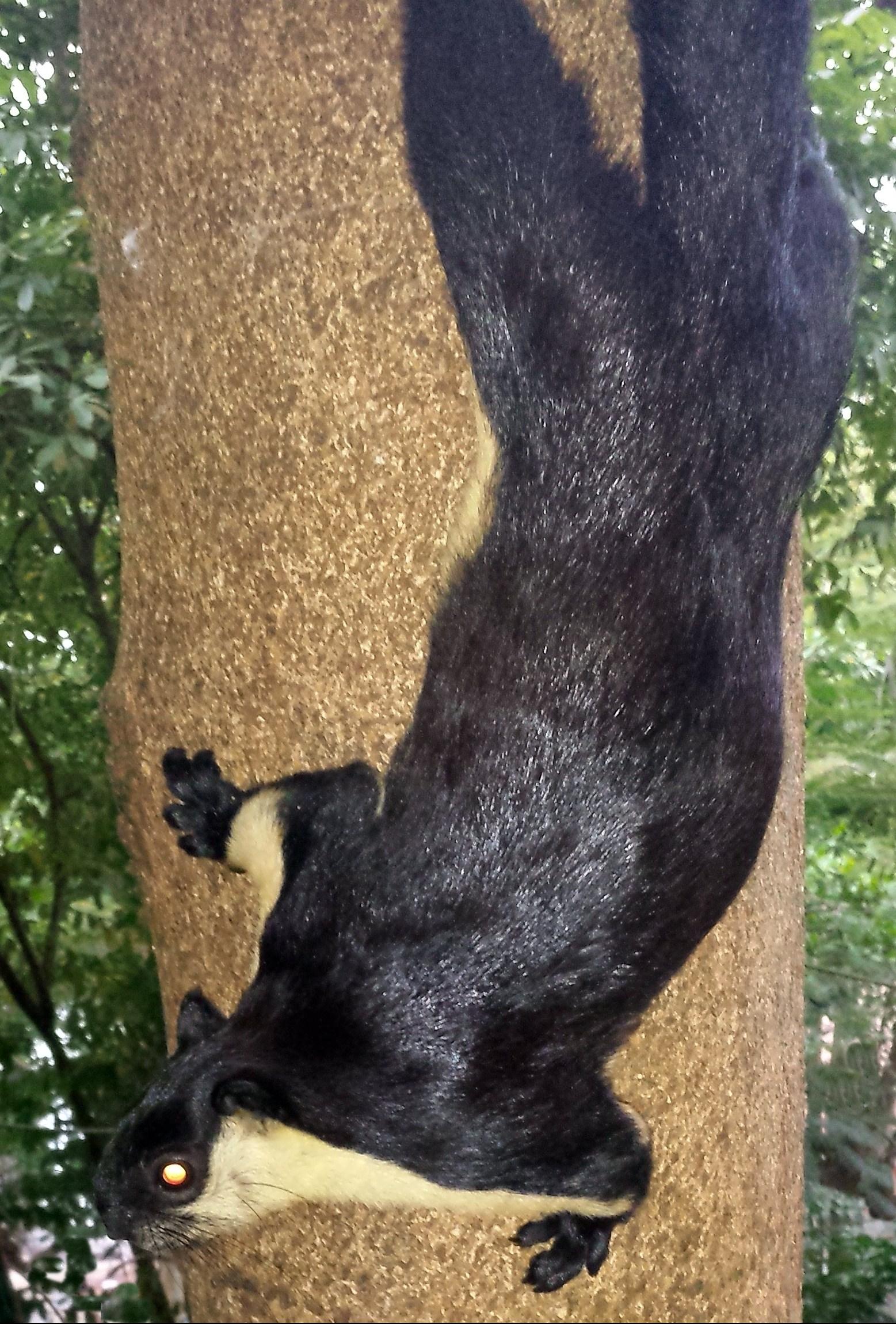 World's largest squirrel