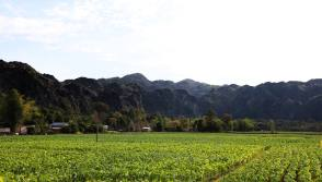 Tobacco plants below Karst mountains, Kong Lor