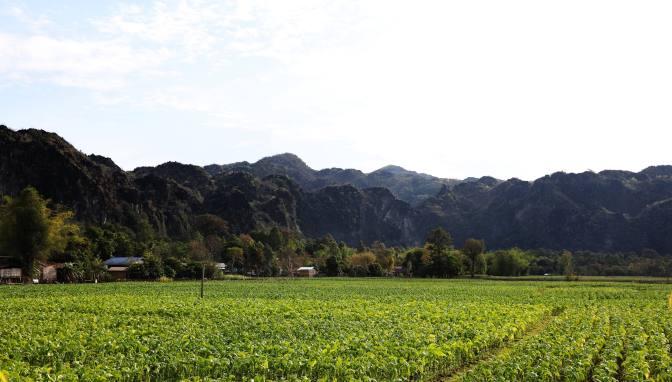 Tobacco plants below Karst mountains, Kong Lor