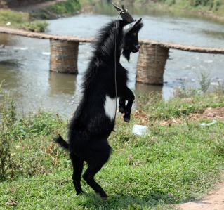 Aggressive goat