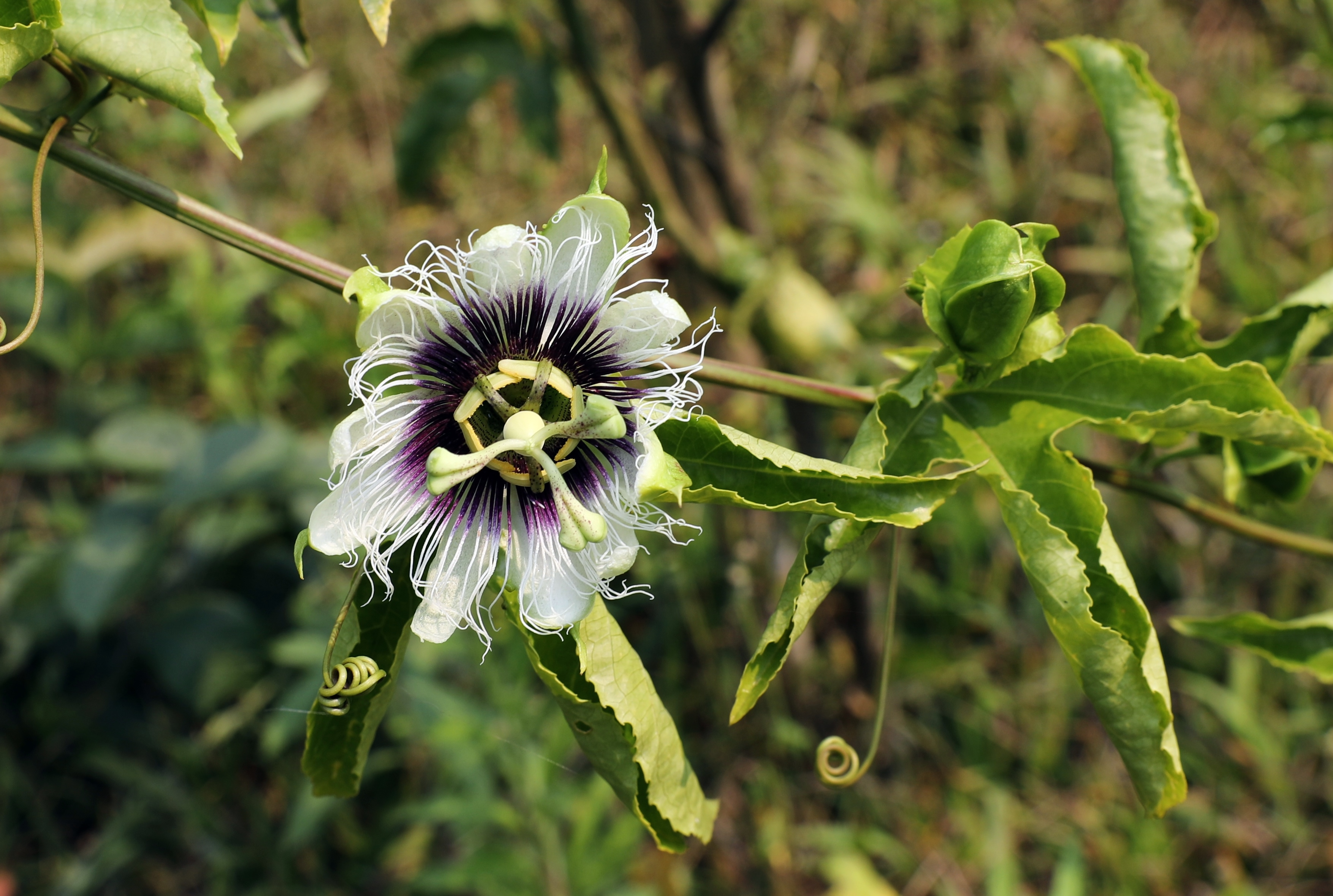 Passion Fruit Flower, Nam Ha National Park