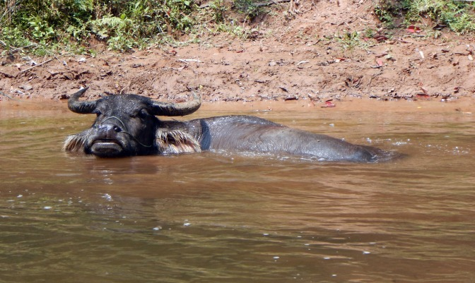 Buffalo cooling off in Nam Ha River