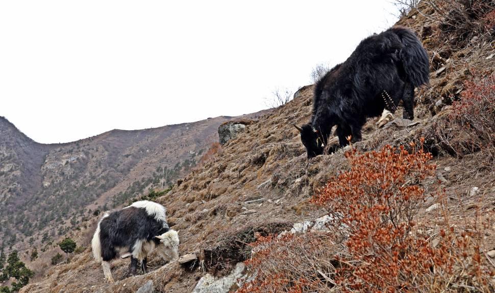 Yaks grazing