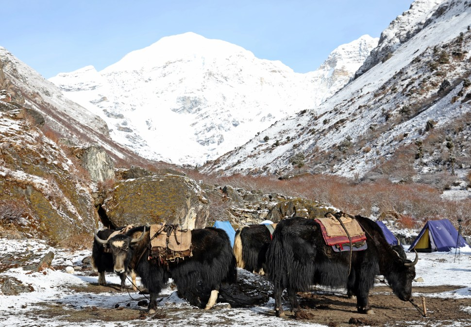 Yaks being loaded up with supplies at Jumolhari Base Camp