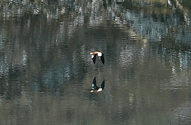 Ruddy Shel Duck and its reflection on Tshophu Lake