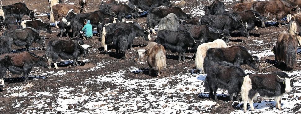 Farmer milking her yaks