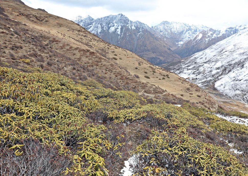 Dwarf Rhododendrons on the slopes below Thomua La