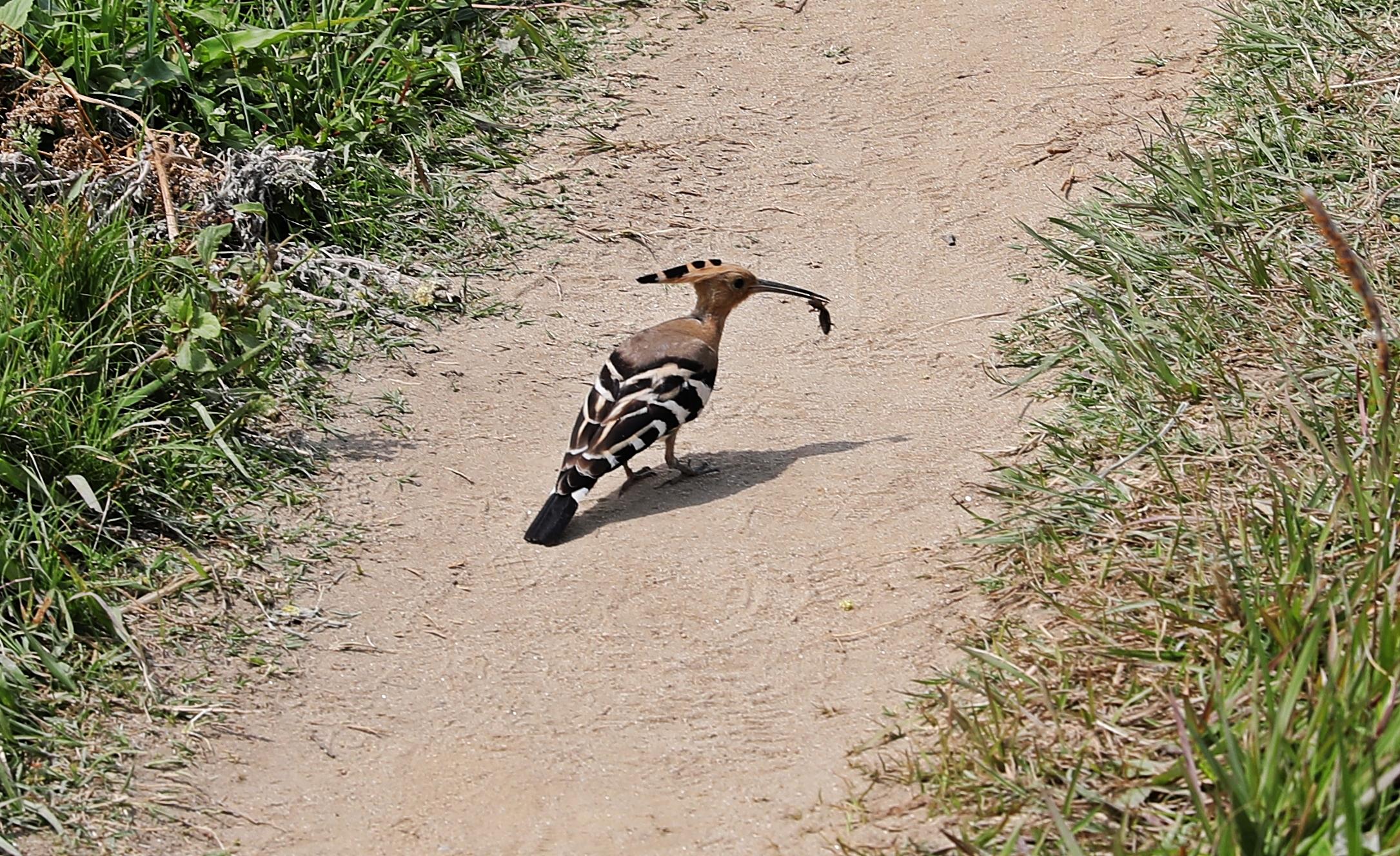 Common Hoopoe near Chimi Lakhang