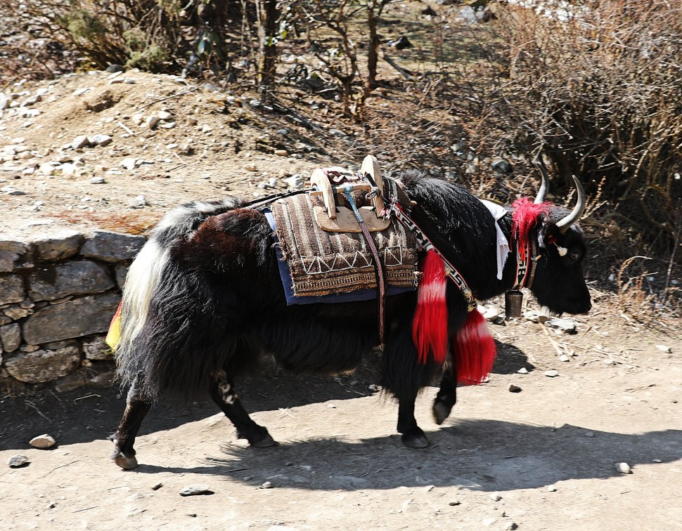 The lead yak in decoration