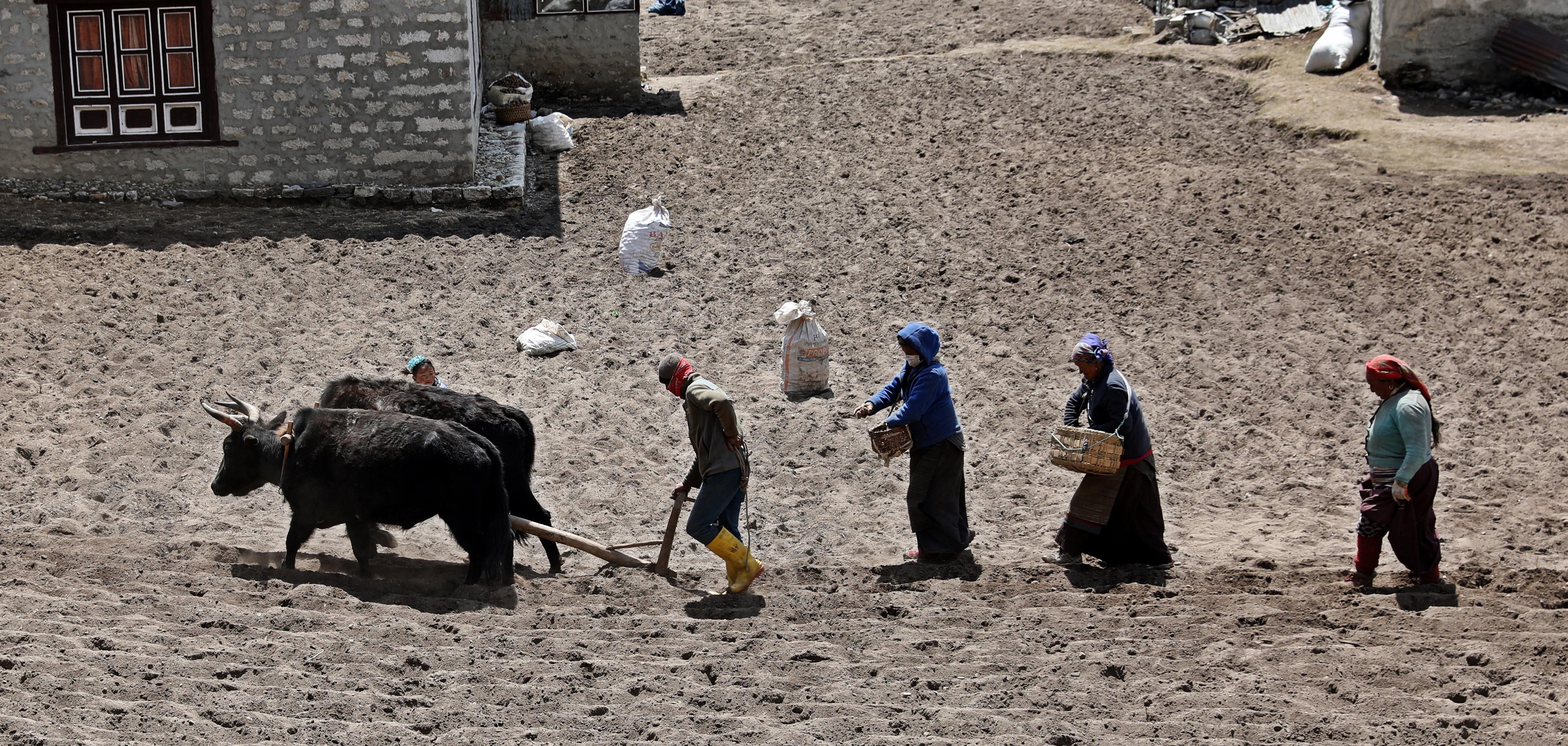 Dingboche villagers planting potatoes