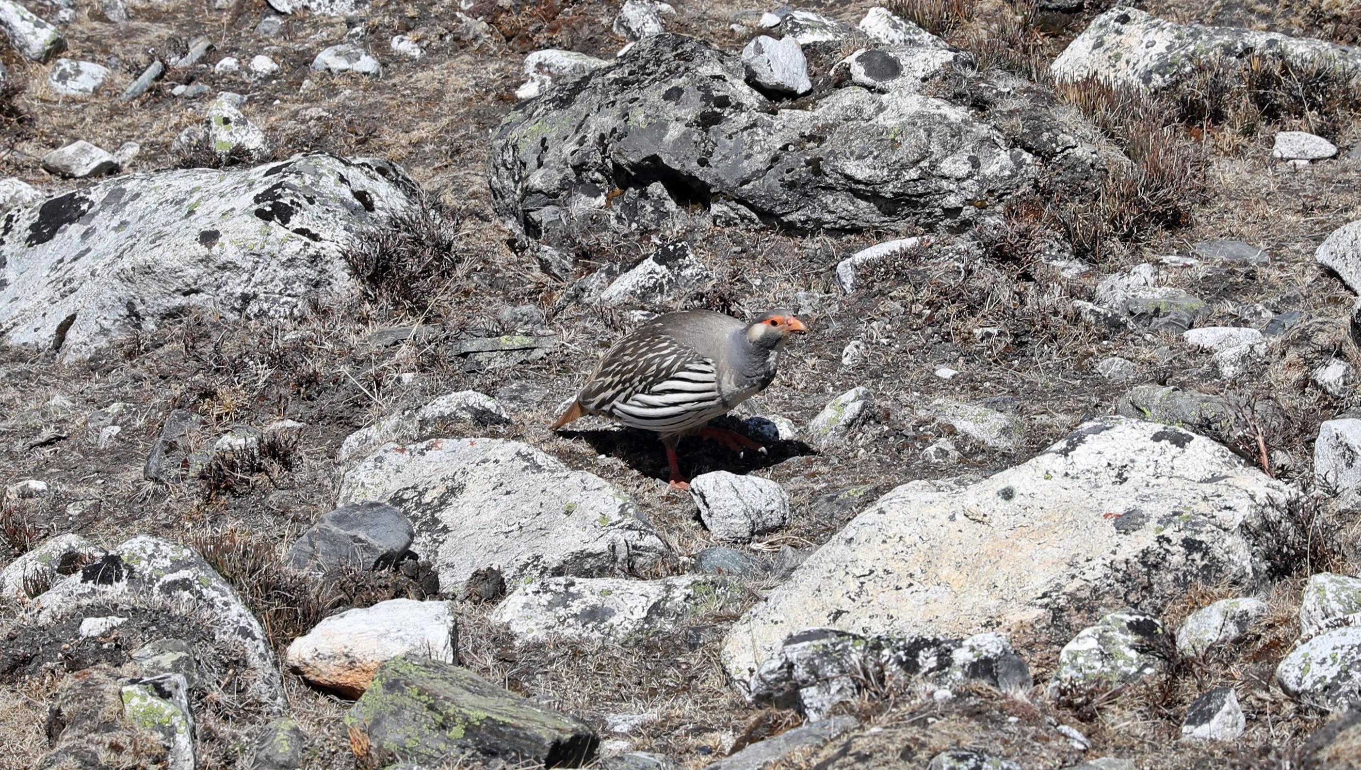 Himalayan Snow Partridge