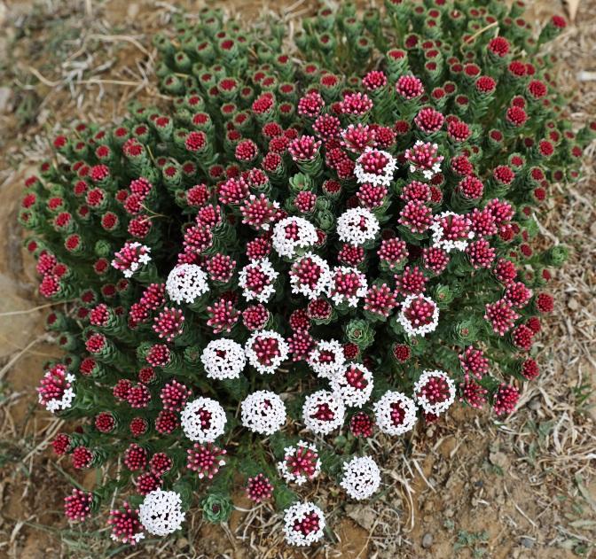 Alpine flowers on the Upper Mustang trek
