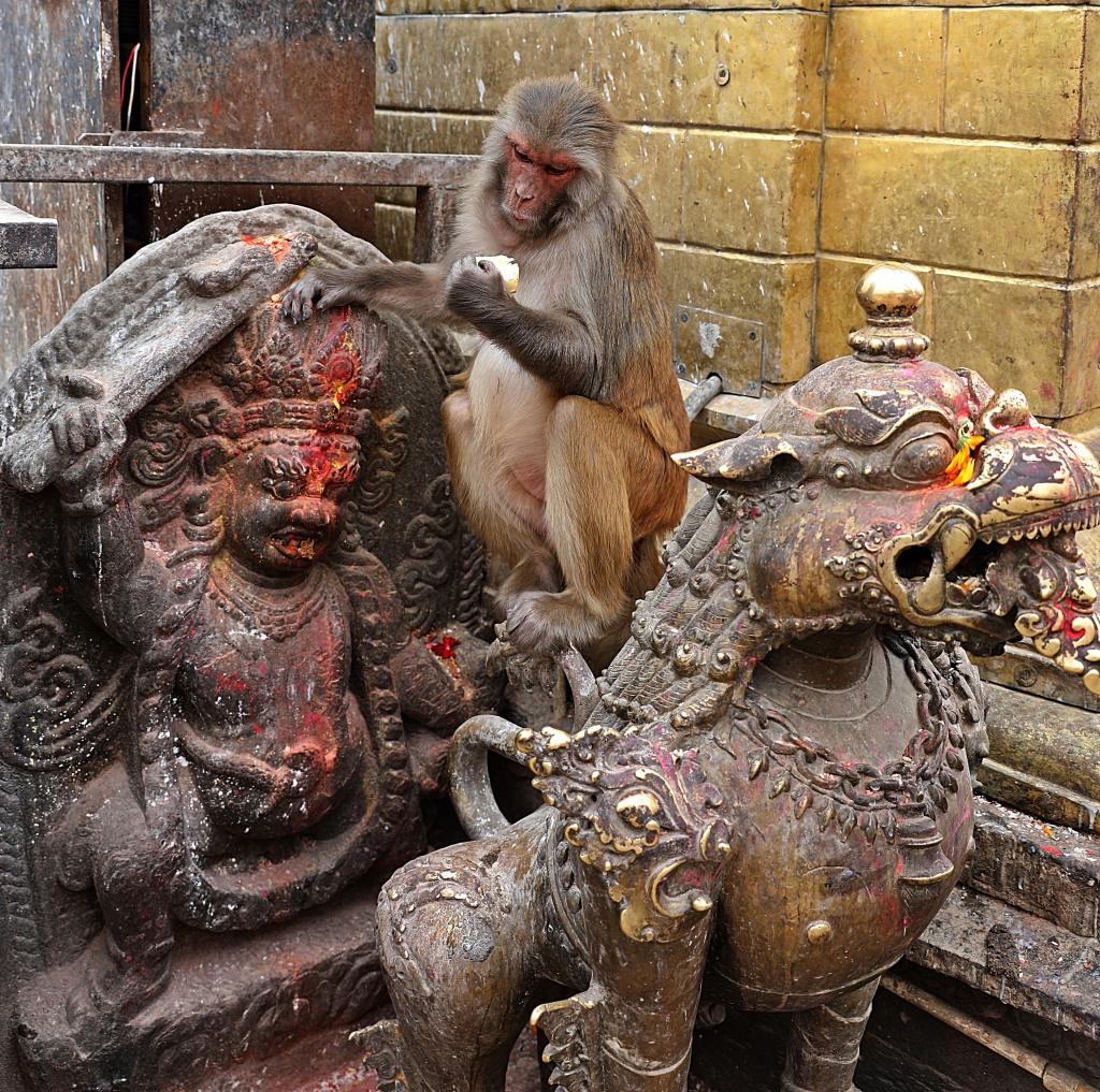 Rhesus monkey at Swayambhunath, Kathmandu