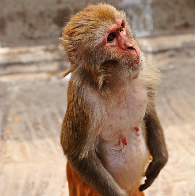 Looks like he's from 'Planet of the Apes', Swayambhunath, Kathmandu