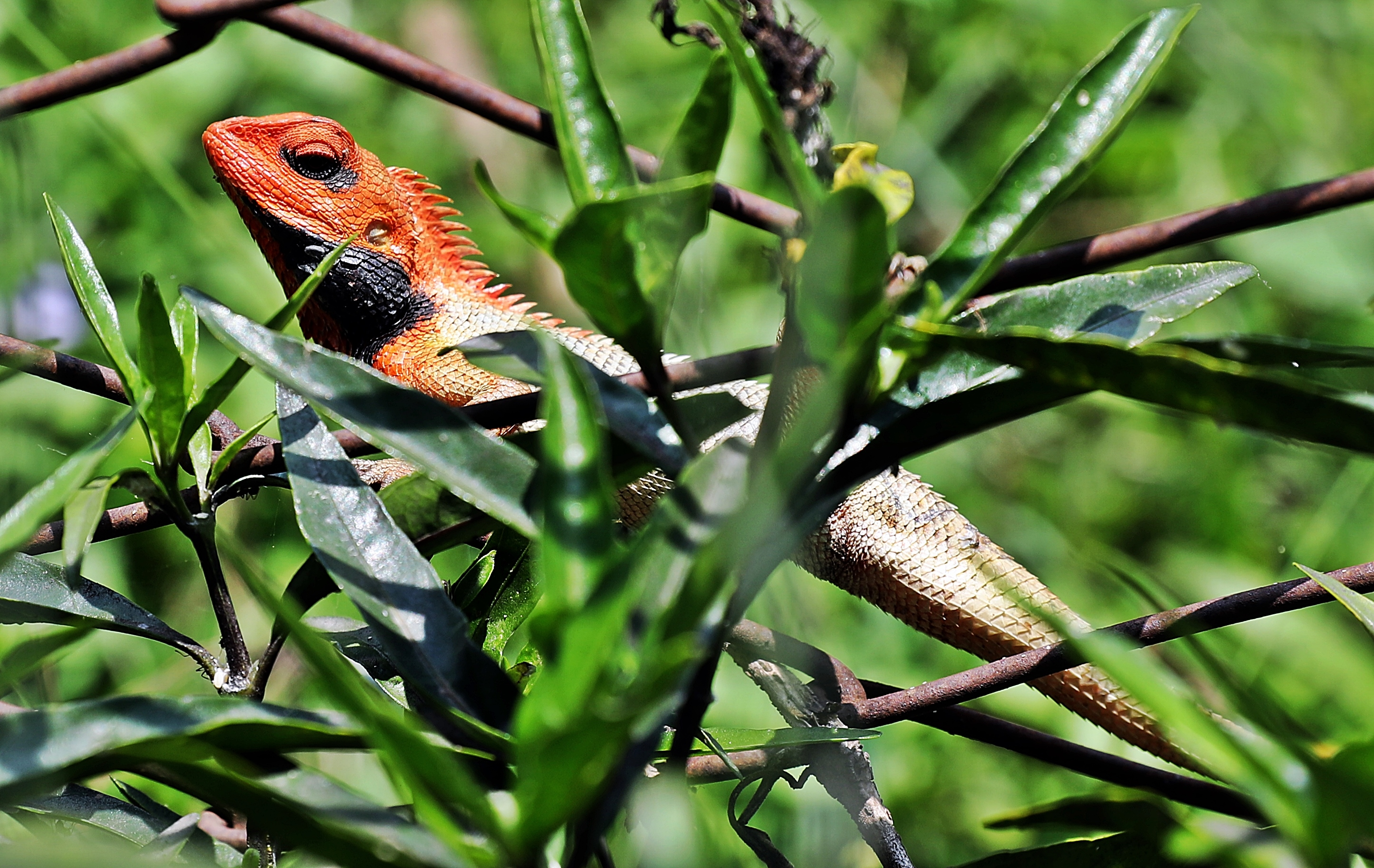 Colourful lizard, Pokhara