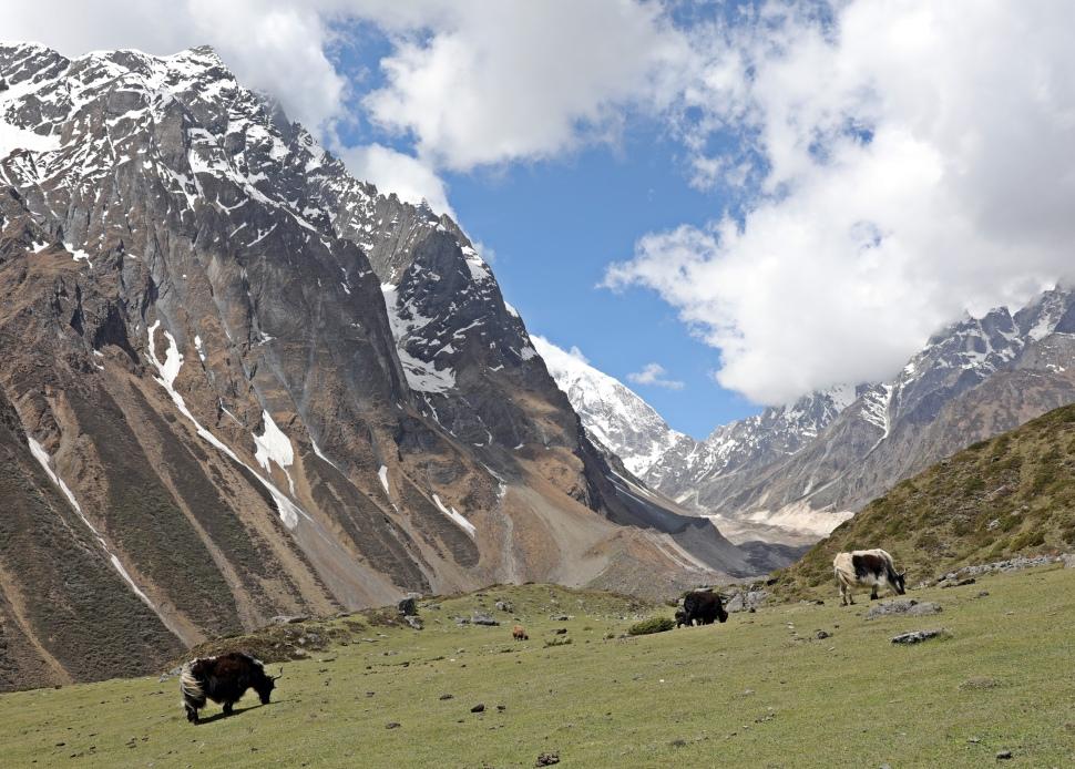 Yaks below Dharmasala